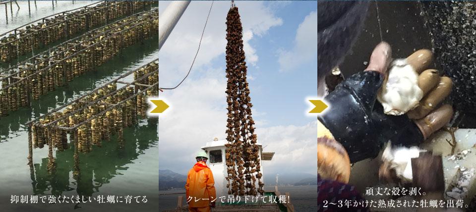 2〜3年かけた熟成された牡蠣を出荷。